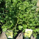 Gooseberry 'Hinnonmaki Yellow' - 3ltr pot