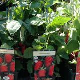 Loganberry -  3ltr pot