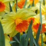 Large Cup Narcissi 'Quirinus'