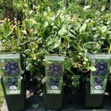 Blueberry 'Liberty' - 3ltr pot