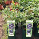 Blueberry 'Aurora' - 3ltr pot