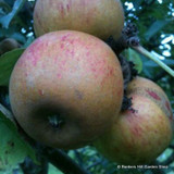 Apple Tree Ashmead's Kernel 1-2yr fruit tree, eating, traditional variety, MM106