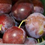 Plum Tree Majories's Seedling' 1-2yr fruit tree, reliable late crop self-fertile