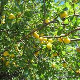 Plum Tree 'Denniston's Superb' 1-2yr fruit tree, self-fertile, gage