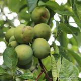 Greengage Tree 'Cambridge Gage' 1-2yr fruit tree, gage, plum