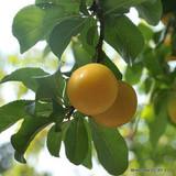 'Coe's Golden Drop' 1-2yr Plum Tree on St Julian A rootstock