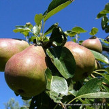'Buerre Hardy' 2yr Pear Tree  on Quince A rootstock
