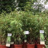 Fargesia rufa (Fountain Bamboo) 60-80cm (5ltr)