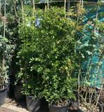 Wisteria sinensis 2.4m trellis.