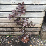 Fagus sylvatica purpurea (Purple Beech) 40-60cm 5.5ltr.
