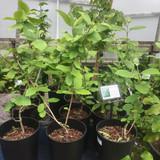 Viburnum lantana (Wayfaring Tree) 40-50cm 5.5ltr.