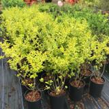 Ligustrum ovalifolium 'Aureum' (Golden Privet) 60-80cm 5.5ltr.