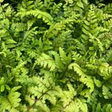 Athyrium otophorum var. 'Okanum' (Fern) - 9cm pot