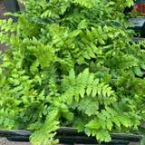 Dryopteris crassirhizoma (Fern) - 9cm pot