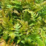 Dryopteris erythrosora (Fern) - 9cm pot