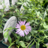 Erigeron karvinskianus 'Lavender Lady' - 9cm pot