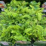 Polystichum setiferum (Fern) - 9cm pot