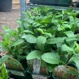 Salvia 'Caradonna' - 9cm pot
