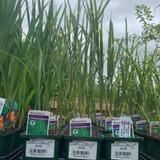 Miscanthus sinensis 'Strictus' (Grass) - 9cm pot