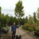 Laurus nobilis (Bay tree) 12/14cm - 11ft Standard.