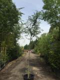 Cotoneaster cornubia - 10ft