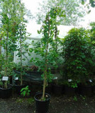 Ginkgo biloba (Maidenhair Tree) - 6ft tall.