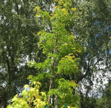 Gleditsia 'Sunburst' - 15ft.