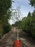 Betula Jacquemontii (Himalayan Birch) 9-11ft.