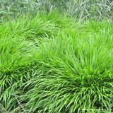 Hakonechloa macra (Grass)
