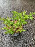 Abelia 'Raspberry Profusion' - 3ltr