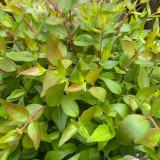Abelia grandiflora 'Sherwood' - 5ltr