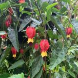 Abutilon megapotamicum - 7.5ltr