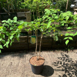 Aralia elata (Japanese Angelica Tree) - 5ltr pot