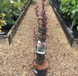 Berberis 'Helmond Pillar' (Japanese barberry) 3ltr pot