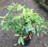 Photonia 'Pink Crispy' 7.5ltr pot