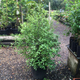 Pittosporum tenuifolium - 20ltr pot