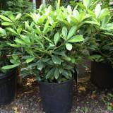 Skimmia japonica 'Extase' - 18.5ltr pot