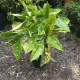 Aucuba japonica 'Crotonifolia' (Spotted Laurel) - 2ltr pot