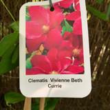 Clematis 'Vivienne Beth Currie'