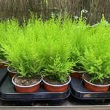 Conifer - Cupressus macrocarpa 'Goldcrest' small