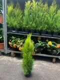 Conifer - Cupressus macrocarpa 'Wilma' - 4ltr pot
