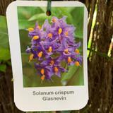 Solanum crispum 'Glasnevin' - 3ltr pot