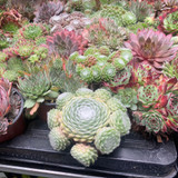 Sempervivum  Mixed - 9cm pot