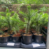 Monkey Puzzle Tree (Araucaria araucana) - 1ltr pot