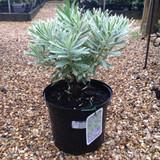 Euphorbia 'Silver Swan' - 5ltr pot