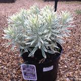 Euphorbia 'Tasmanian Tiger' - 5ltr pot