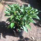 Viburnum davidii - 15ltr pot