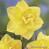 Double Daffodils 'Apotheose'