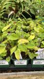 Epimedium × youngianum 'Niveum' - 9cm pot