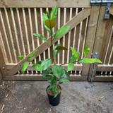 Magnolia grandiflora 'Exmouth' - 4ltr pot